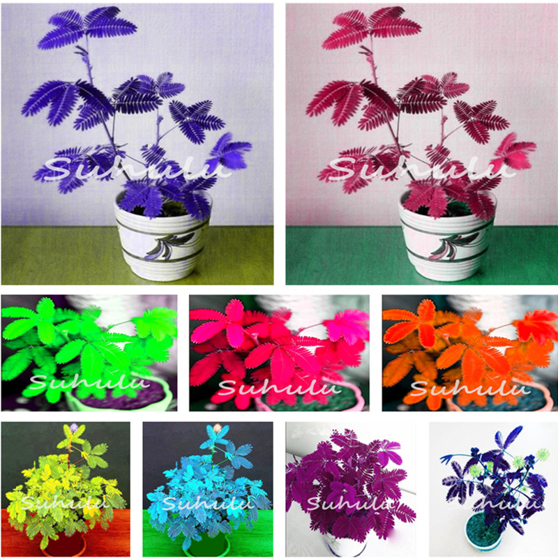 Magical Fun Balcony Plants 100pcs Mimosa Pudica-Bashfulgrass Flower Seeds in Bonsai,Plants Will Instantly Dancing Moving Quickly
